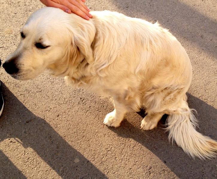 Ogłoszenie Znaleziono Psa Rasy Golden Retriever Urząd
