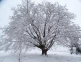Duże drzewo pokryte śniegiem